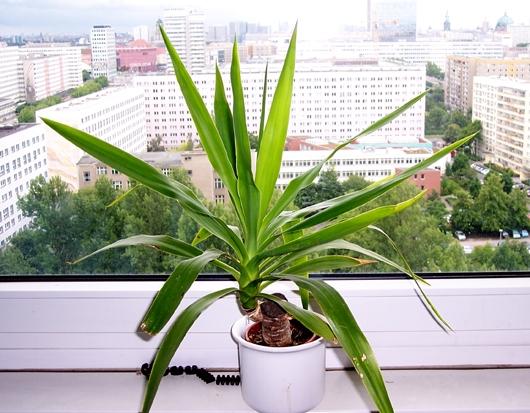 Yucca Palme Wohnzimmer : yucca palme wohnzimmer : Die kleine dicke ...