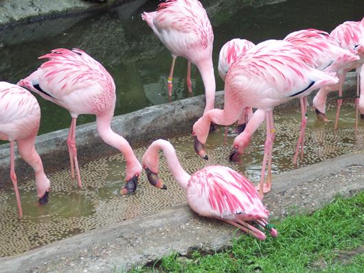 Jeder ecke im zoo bin ich heute über die pinken flamingos gestolpert