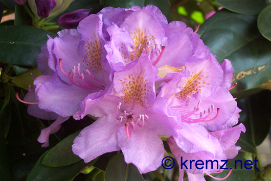 Rhododendron in voller Bl�te - Sommer 2007
